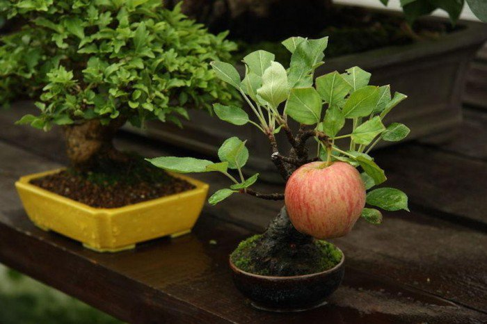 Grow Full Size Fruits In a Fraction Of The Area With Bonsai Trees