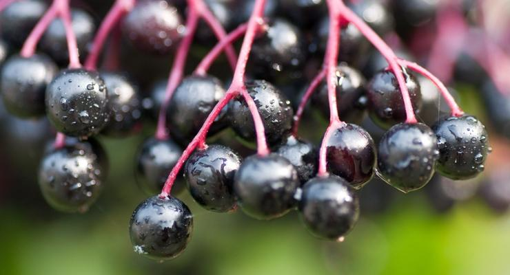 Image result for Elderberry - The Most Anti-Viral Fruit Known to Man